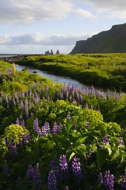 Iceland. Vik I Myrdal. Stream Running Through Field of Wildflowers by Inger Hogstrom