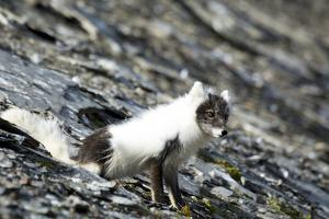 Norway. Svalbard. Barentsoya. Arctic Fox in a Mixed Coat by Inger Hogstrom