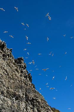 Norway. Svalbard. Black-Legged Kittiwake Colony on the Cliffs by Inger Hogstrom