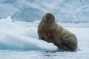 Norway. Svalbard. Brasvelbreen. Atlantic Walrus Resting on an Ice Floe by Inger Hogstrom