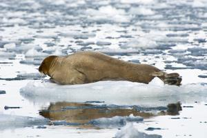 Norway. Svalbard. Burgerbutka. Bearded Seal Resting on an Ice Floe by Inger Hogstrom