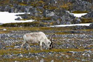 Norway. Svalbard. Camp Millar. Svalbard Reindeer Grazing by Inger Hogstrom
