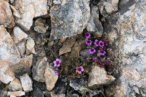 Norway. Svalbard. Kongsfjorden. Saxifrage Growing Amidst the Rocks by Inger Hogstrom