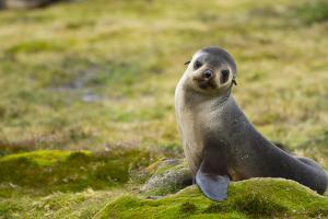 South Georgia. Antarctic Fur Seal, Arctocephalus Gazella, Pup by Inger Hogstrom