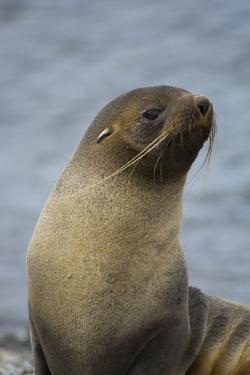 South Georgia. Antarctic Fur Seal, Arctocephalus Gazella by Inger Hogstrom