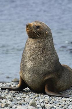 South Georgia. Male Antarctic Fur Seal, Arctocephalus Gazella by Inger Hogstrom