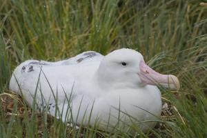 South Georgia. Prion Island. Wandering Albatross on its Nest in Snow by Inger Hogstrom