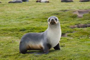 South Georgia. Salisbury Plain. Antarctic Fur Seal Standing by Inger Hogstrom