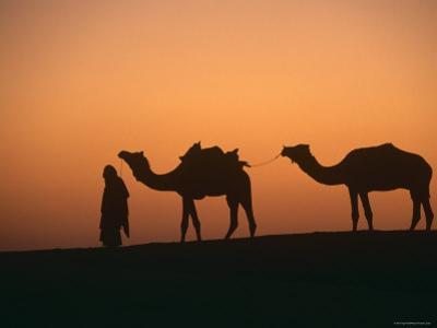 Dromedary Camels with Handler at Dawn, Rajasthan, India
