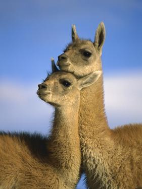 Guanaco (Lama Guanicoe) Two Juveniles, Torres Del Paine Nat'l Park, Chile by Ingo Arndt/Minden Pictures
