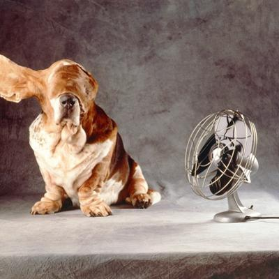 "A Basset Who Is Sitting with ""Flying"" Ears in Front of a Ventilator by Ingo Boddenberg"