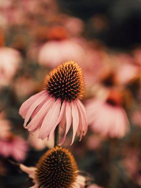 Echinacea by Ingrid Beddoes