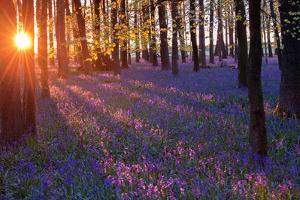 Bluebells at Sunset by Inguna Plume