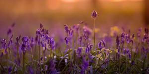 Bluebells in Sunset by Inguna Plume