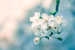 Close-Up of Cherry Blossom by Inguna Plume