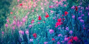 Field of Purple Flowers by Inguna Plume