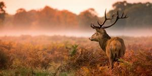 Red Deer Stag in the Early Morning Mist by Inguna Plume