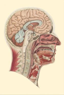 Interior of the Cranium