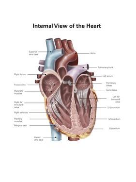 Internal View of the Human Heart