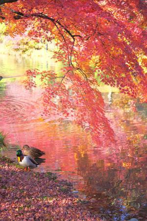Japanese Maple Mallard Ducks in Autumn, Kyoto Prefecture, Honshu, Japan by iplan/a.collectionRF