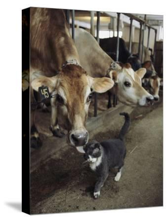 A Cat Accepts a Lick from a Cow at a Dairy Farm in Massachusetts by Ira Block
