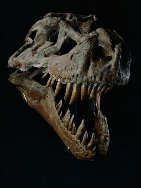 Skull of a Tyrannosaurus Rex by Ira Block