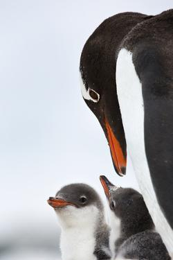 A Gentoo Penguin and its Downy Little Chicks by Ira Meyer