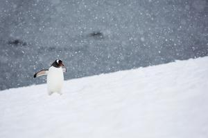 A Gentoo Penguin Walking in a Snow Storm by Ira Meyer