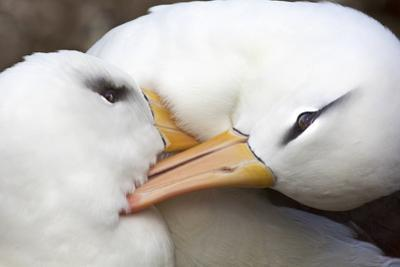 A Pair of Black-Browed Albatrosses Preening and Canoodling Each Other