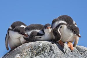 A Trio of Fuzzy Gentoo Penguin Chicks Atop a Boulder by Ira Meyer