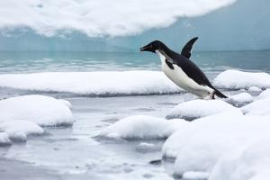 An Adelie Penguin Jumping into Icy Water by Ira Meyer