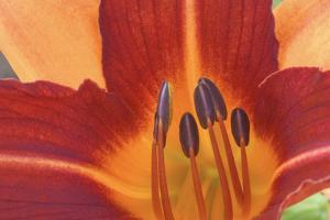 Close Up of a Day Lily Flower by Ira Meyer