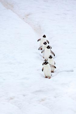 Gentoo Penguins Walking Single File Down a Penguin Highway by Ira Meyer