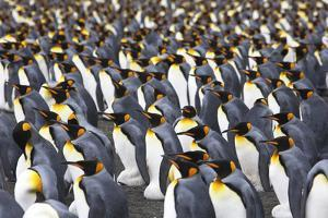 King Penguins, Aptenodytes Patagonicus, Gathered in a Rookery by Ira Meyer