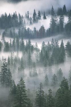 Ponderosa Pines Trees, Pinus Ponderosa, in Morning Fog by Ira Meyer