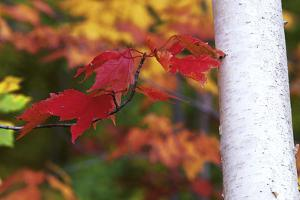 Red Sugar Maple Leaves, Acer Saccharum, Next to a White Birch Tree Trunk, Betula Papyrifera by Ira Meyer