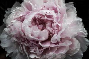 Pink Peony Passion I by Irena Orlov