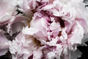 Pink Peony Passion II by Irena Orlov