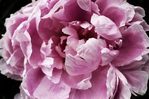 Pink Peony Passion IV by Irena Orlov