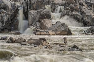 A Great Blue Heron, Ardea Herodias, on a Rock in the Swift Moving Waters of Great Falls by Irene Owsley