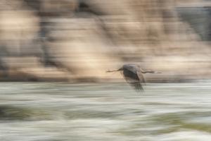 A Great Blue Heron in Flight by Irene Owsley