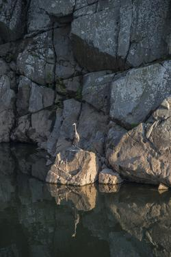 A Great Blue Heron on a Rock in the Potomac River by Irene Owsley