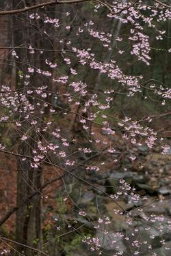 Dogwood Trees in Bloom in Spring by Irene Owsley