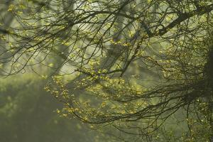 New Growth on Tree Branches in Morning Fog by Irene Owsley