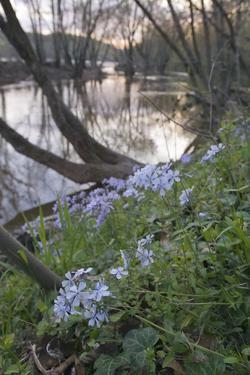 Spring Phlox Along the Potomac River Inside the Beltway on the Maryland Side by Irene Owsley