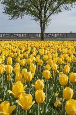 Spring Planting of Tulips at the Memorial Bridge by Irene Owsley