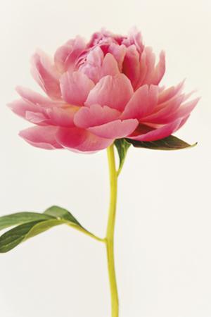 Floral Virtuoso by Irene Suchocki