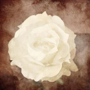 Art Floral Vintage Sepia Background with One White Rose by Irina QQQ
