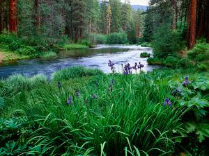 Iris flowers by the Metolius River, Camp Sherman, Deschutes National Forest, Jefferson County, O...