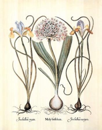 Iris (Plant Study)